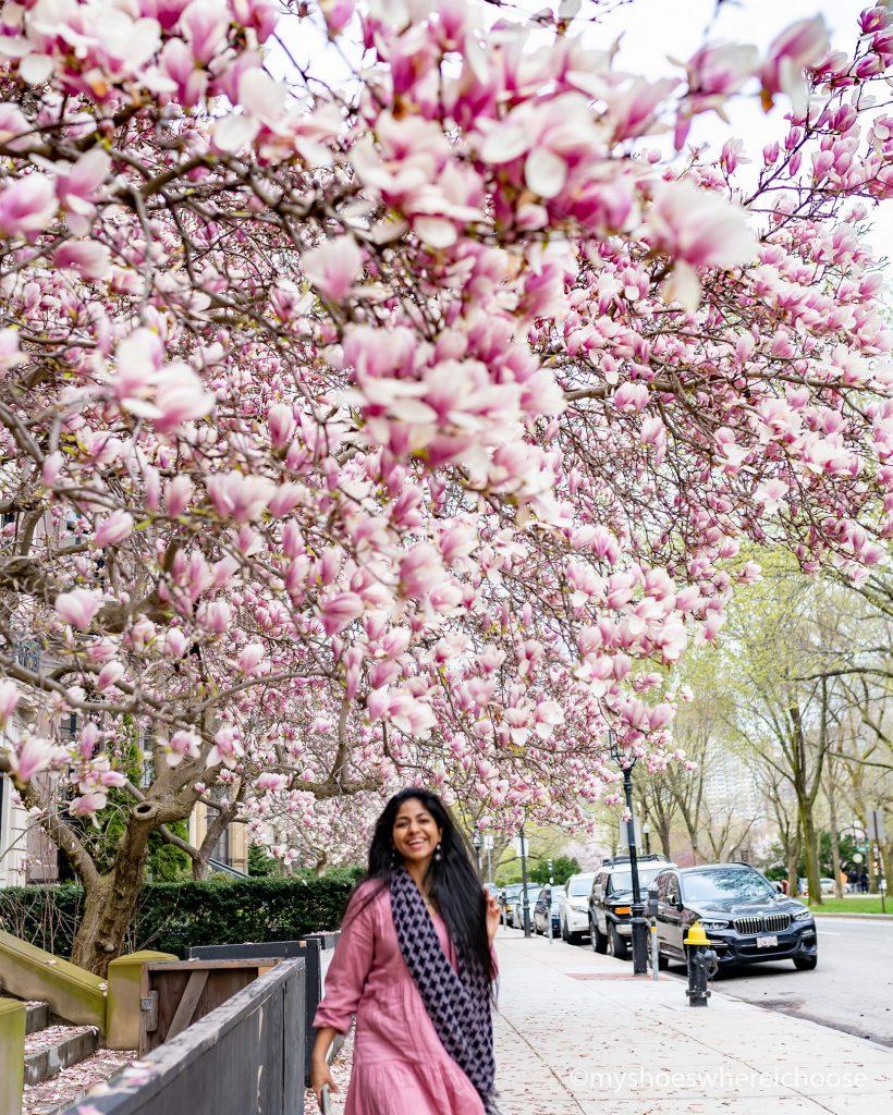 Magnolia trees lining Commonwealth Avenue, Boston